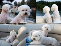dogs on boat collage