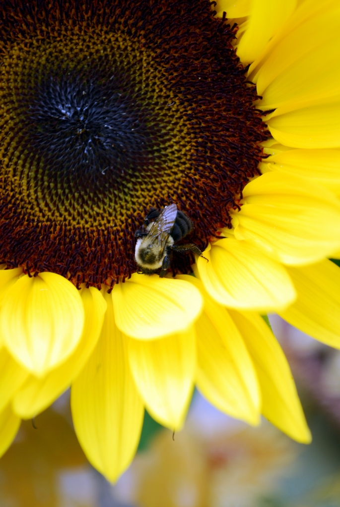 Sunflower with bee | ©homeiswheretheboatis.net #sunflower #bee