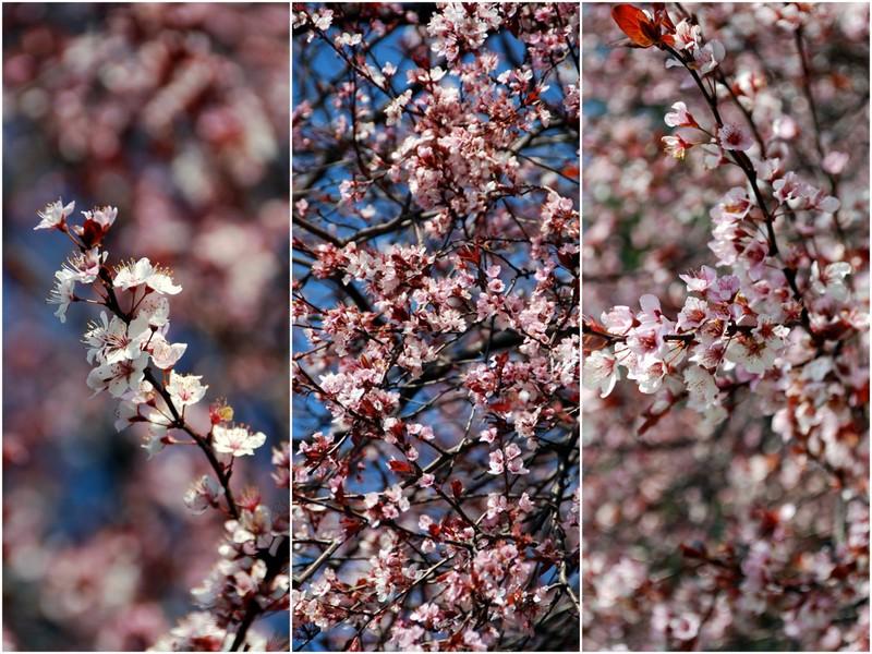 cherry plum tree_1