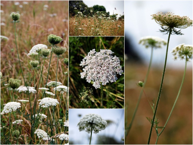 Queen Anne's Lace1