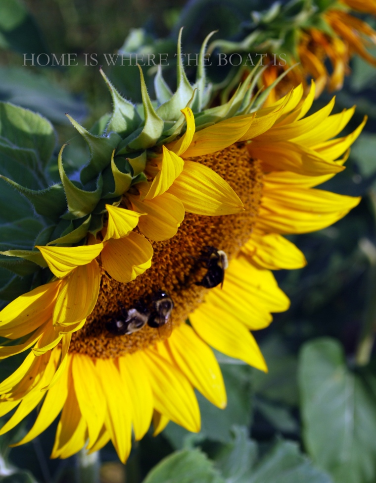 Sunflower with bees | ©homeiswheretheboatis.net #sunflower #bees