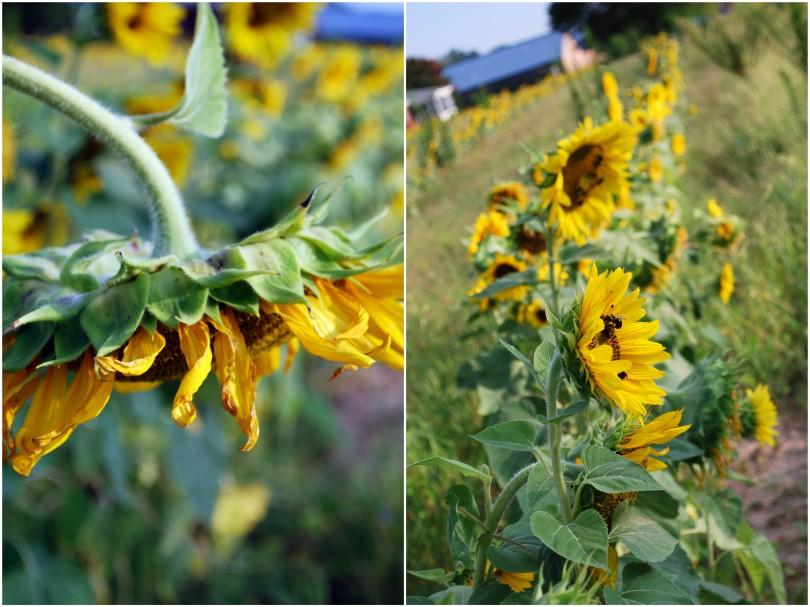sunflowers field2