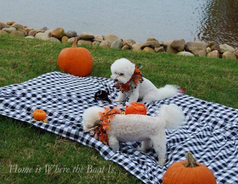 Chloe and Gracie Halloween | ©homeiswheretheboatis.net #dogs #halloween #bichonfrise