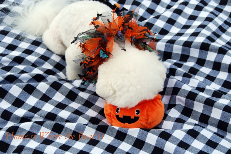 Chloe Halloween | ©homeiswheretheboatis.net #dogs #halloween #bichonfrise