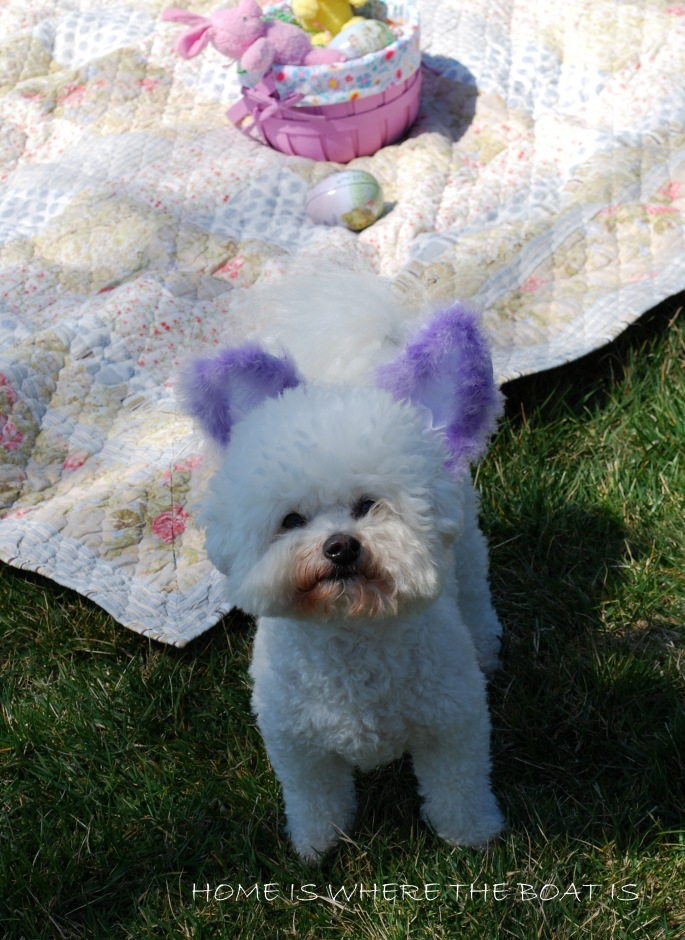 Chloe with bunny ears |homeiswheretheboatis.net #bichonfrise #Easter