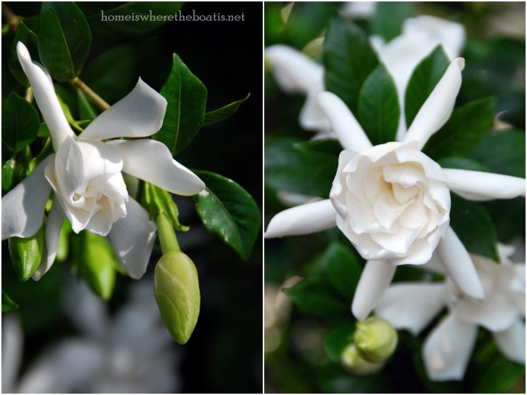 Gardenias DWTM1