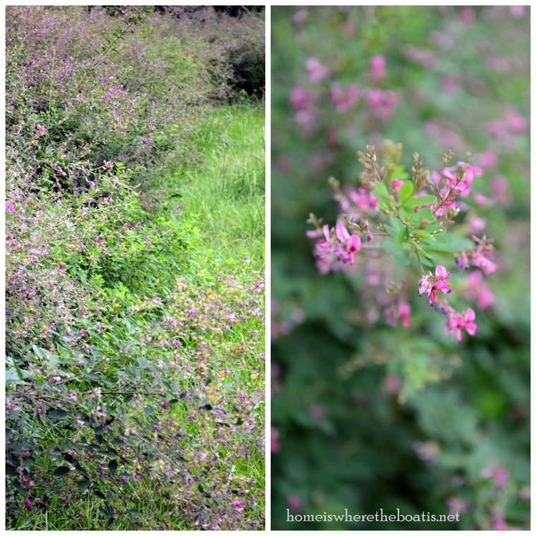 pink flowering shrub-001