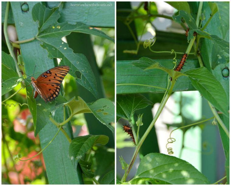 Gulf fritillary butterfly and caterpillar-001