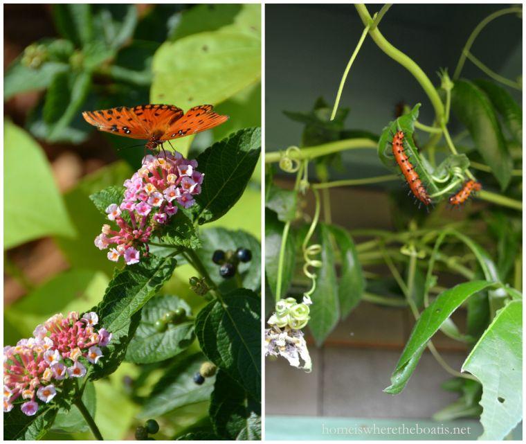 Gulf fritillary butterfly and caterpillars