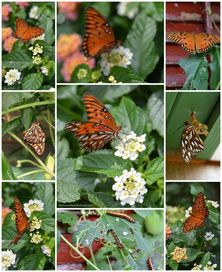 Gulf Fritillary Butterfly Life Cycle