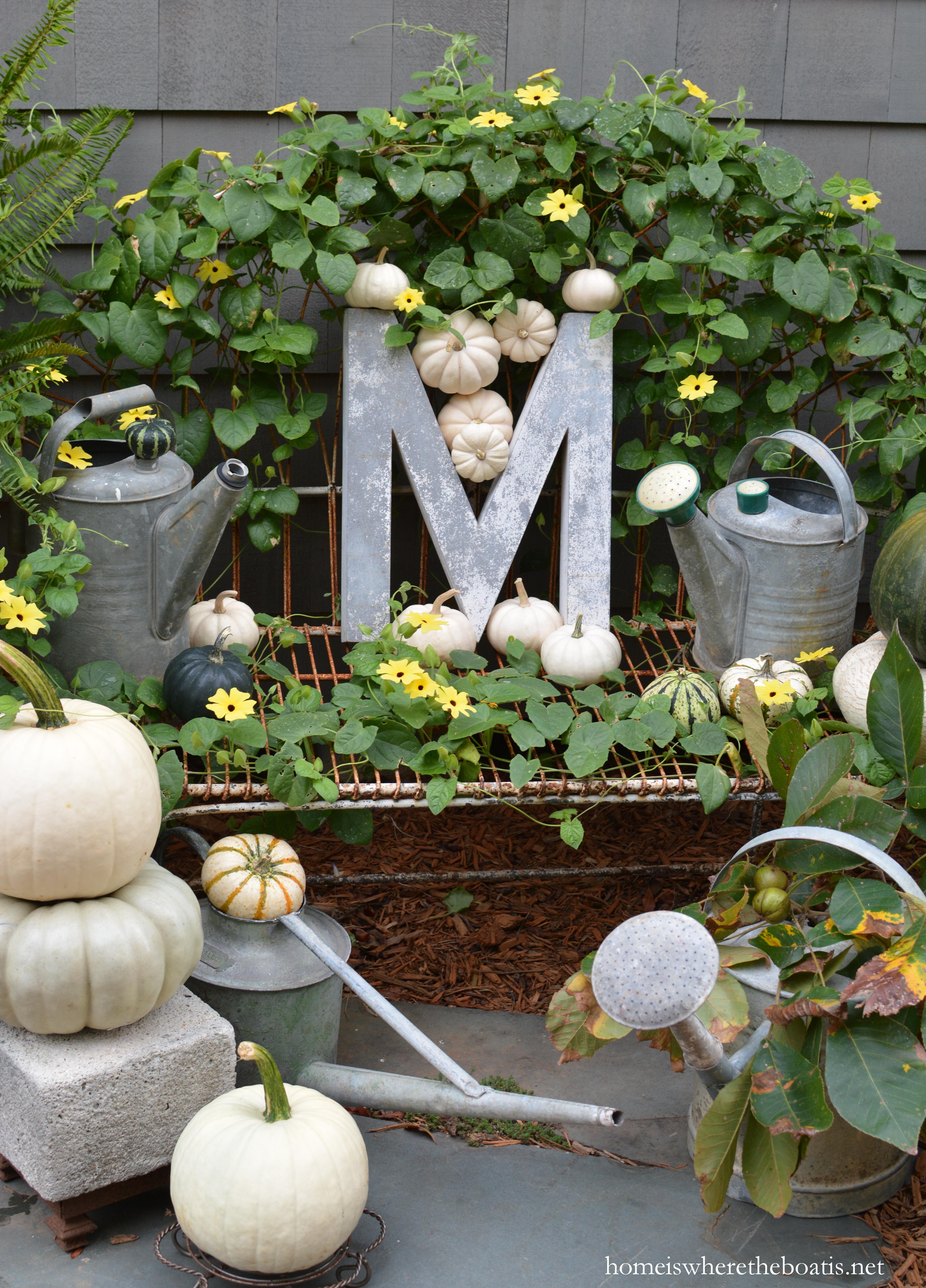 Vigorous Growers Black Eyed Susan Vine Pumpkins And