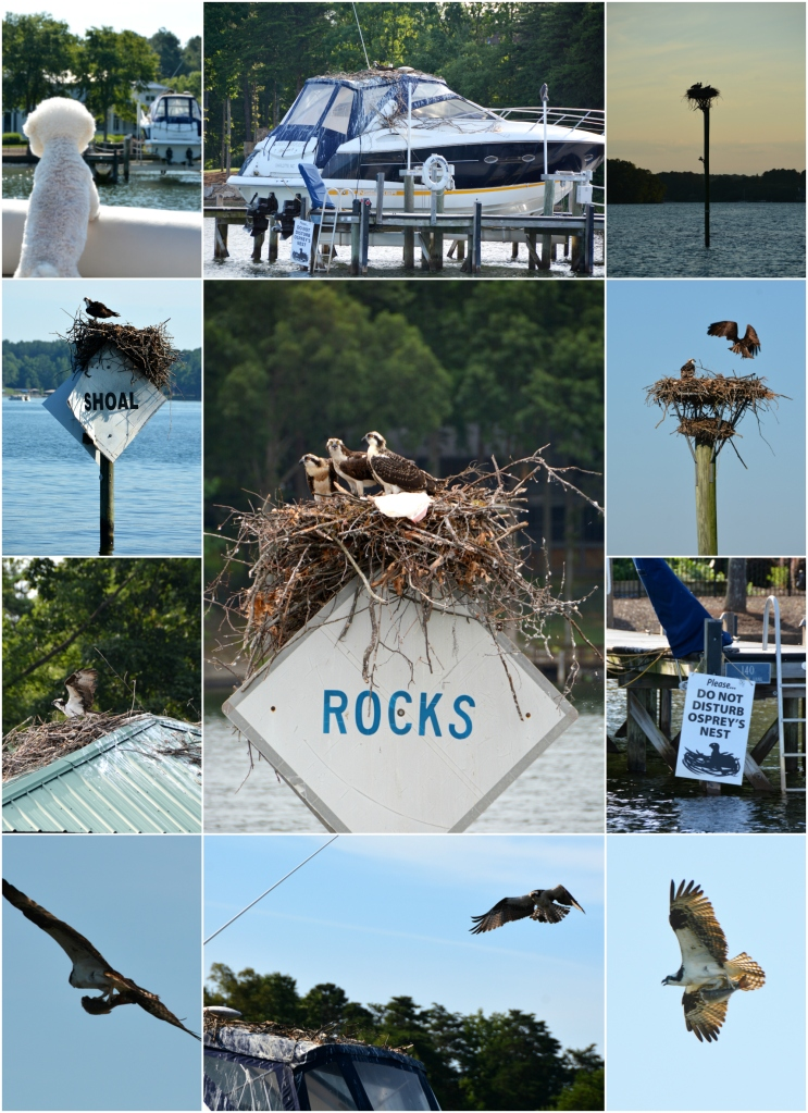 Osprey Nests
