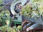 Faded Hydrangea Blooms