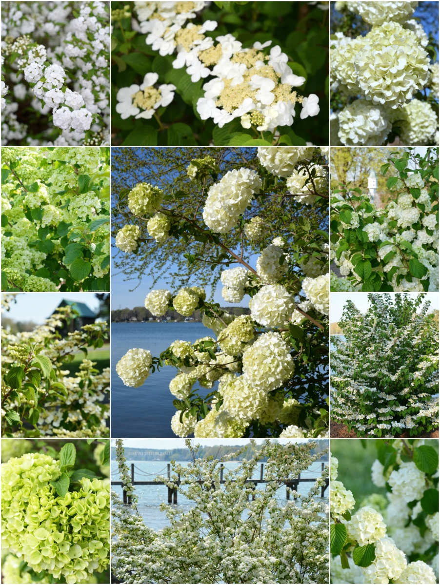 Fast Growing and Low Maintenance White Spring Blooms