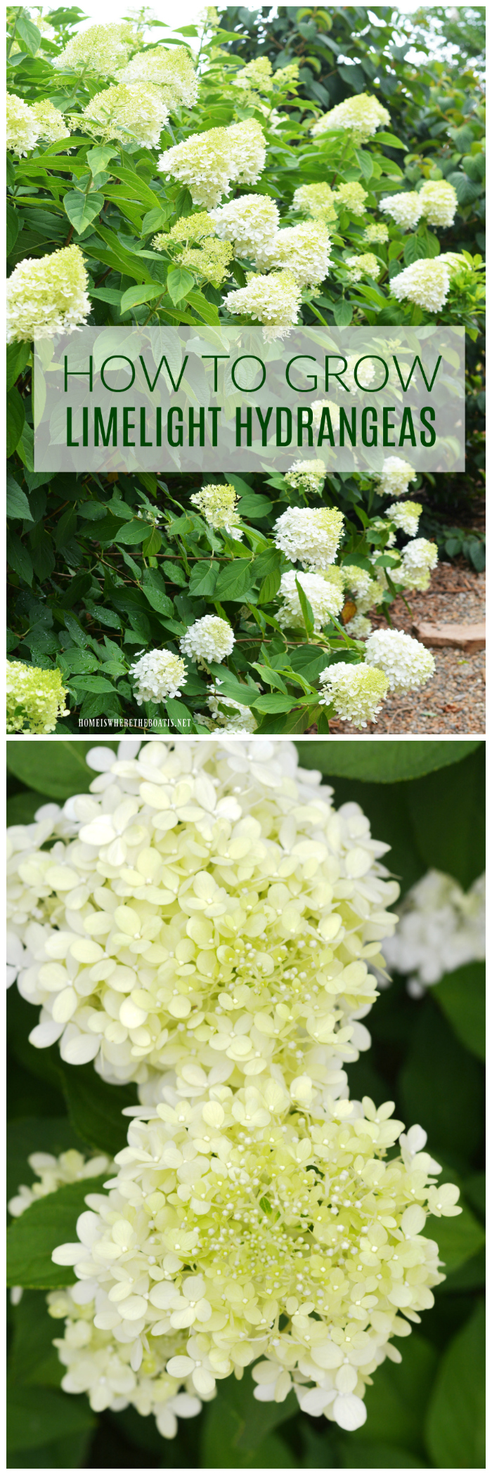 Plant this easy to grow, low maintenance shrub in your garden and enjoy beautiful cut and dried flowers too! | ©homeiswheretheboatis.net #summer #garden #hydrangea