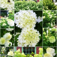 Public Service Annoucement: Plant a Limelight Hydrangea...or Five