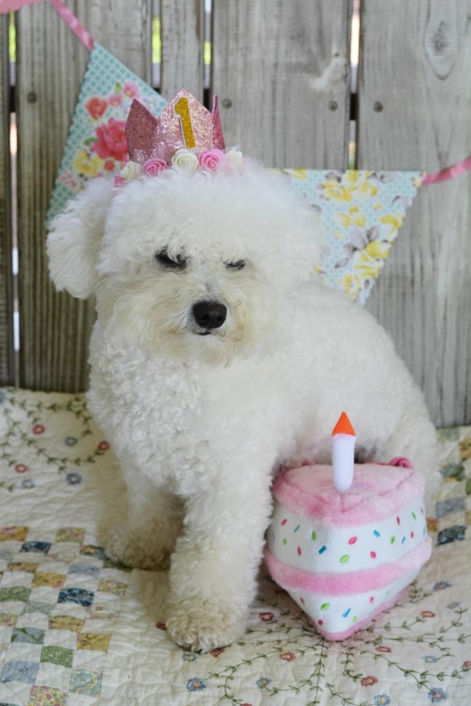 Happy 1st Birthday Lola! | ©homeiswheretheboatis.net #dog #birthday #BichonFrise