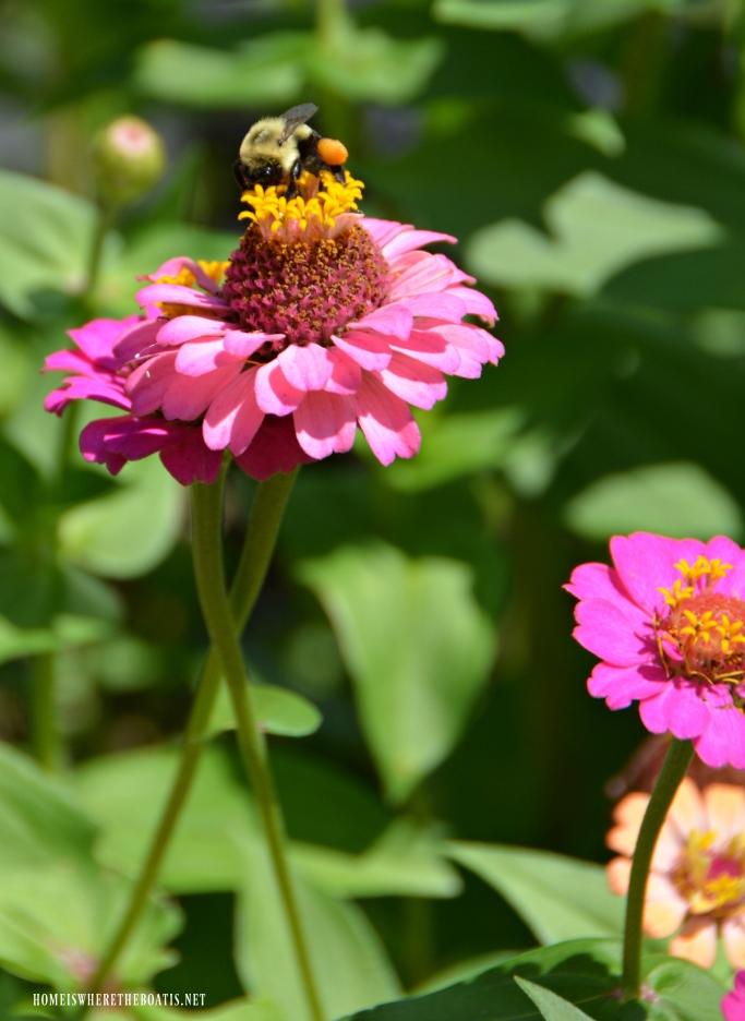 Pollen basket on bumblebee and zinnias | ©homeiswheretheboatis.net #summer #garden #flowers #bees