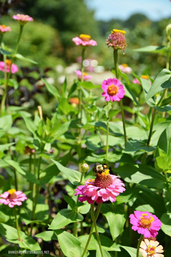 Zinnias and bumblebee | ©homeiswheretheboatis.net #summer #garden #flowers #bees