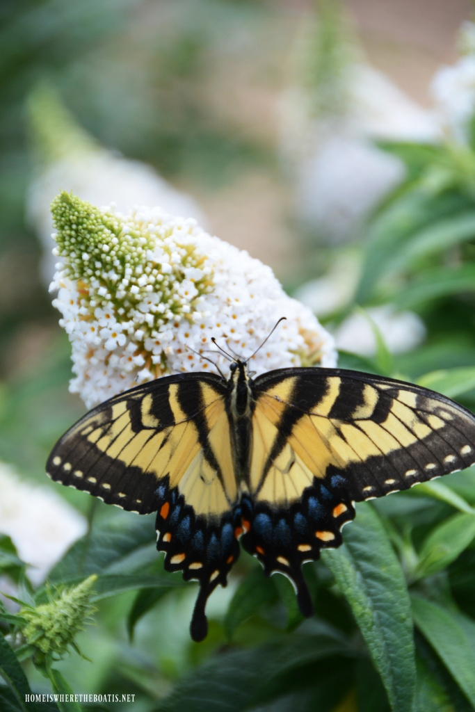 Eastern Tiger Swallowtail on butterfly bush | ©homeiswheretheboatis.net #summer #garden #flowers #butterfly
