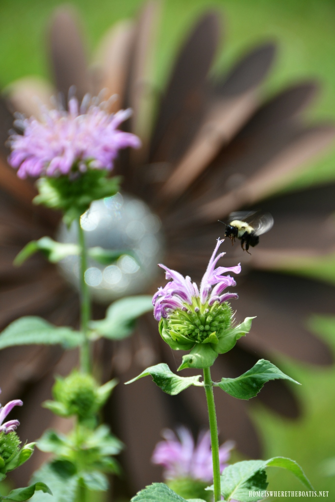 Bumblebee in flight and bee balm | ©homeiswheretheboatis.net #summer #garden #flowers #bees
