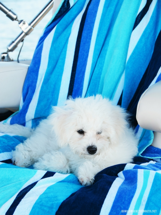 Boating with Dogs Lake Norman | ©homeiswheretheboatis.net #lake #dogs #bichonfrise