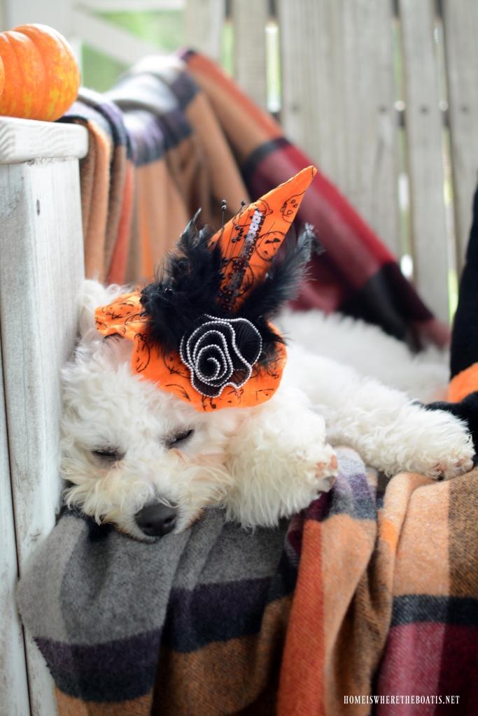 Sophie witch hat Halloween | ©homeiswheretheboatis.net #dogs #halloween #bichonfrise