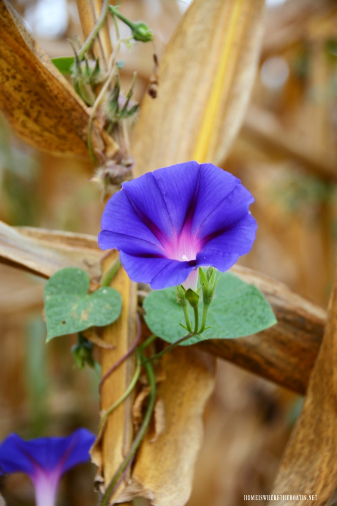 Morning Glory in a Cornfield | ©homeiswheretheboatis.net #flowers #fall #corn