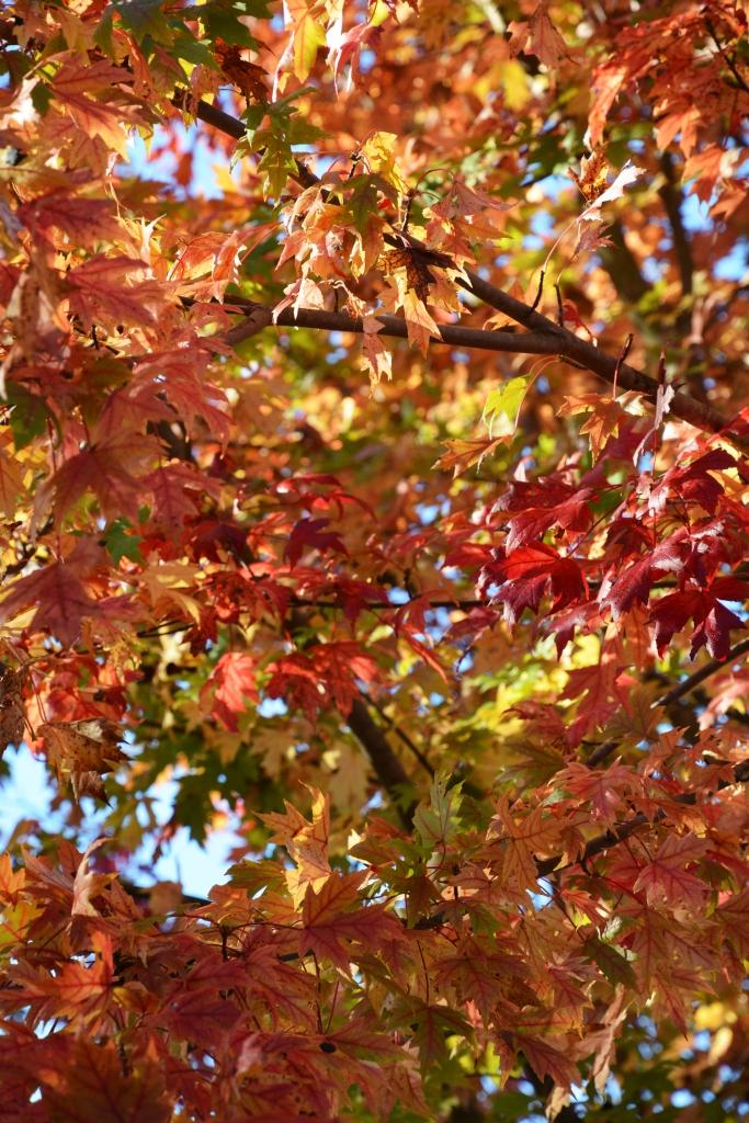 Autumn Blaze Maple | ©homeiswheretheboatis.net #fall #autumn #leaves