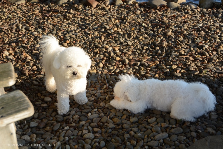 Sophie and Lola | ©homeiswheretheboatis.net #dogs #bichonfrise