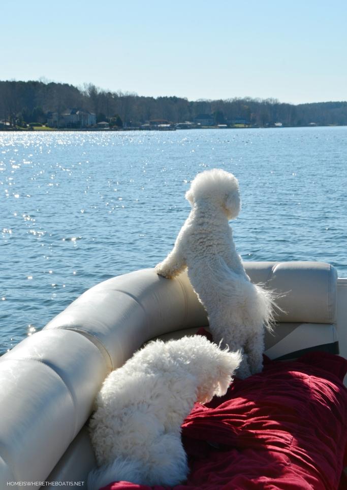 Weekend Waterview Lola and Sophie on pontoon December | ©homeiswheretheboatis.net #dogs #LKN #boat #bichonfrise