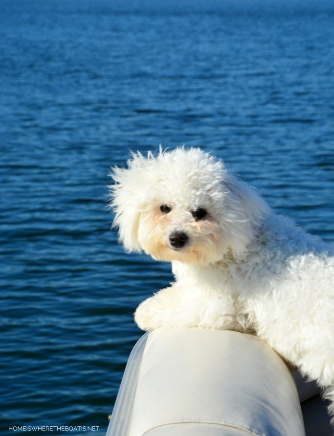 Weekend Waterview Sophie on pontoon | ©homeiswheretheboatis.net #dogs #LKN #boat #bichonfrise