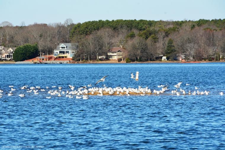 Weekend Waterview gulls on Lake Norman | ©homeiswheretheboatis.net #LKN #boat