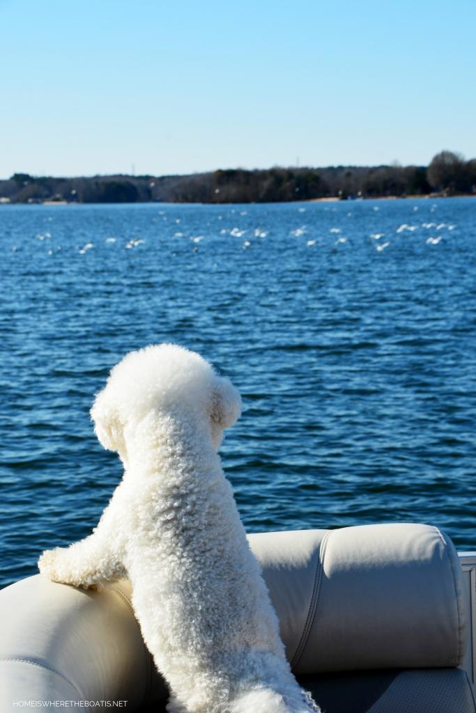 Weekend Waterview Lola watching gulls | ©homeiswheretheboatis.net #dogs #LKN #boat #bichonfrise