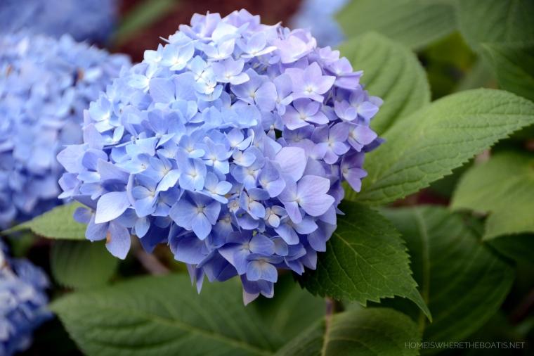 Hydrangeas | ©homeiswheretheboatis.net #flowers #garden #shed #pottingshed