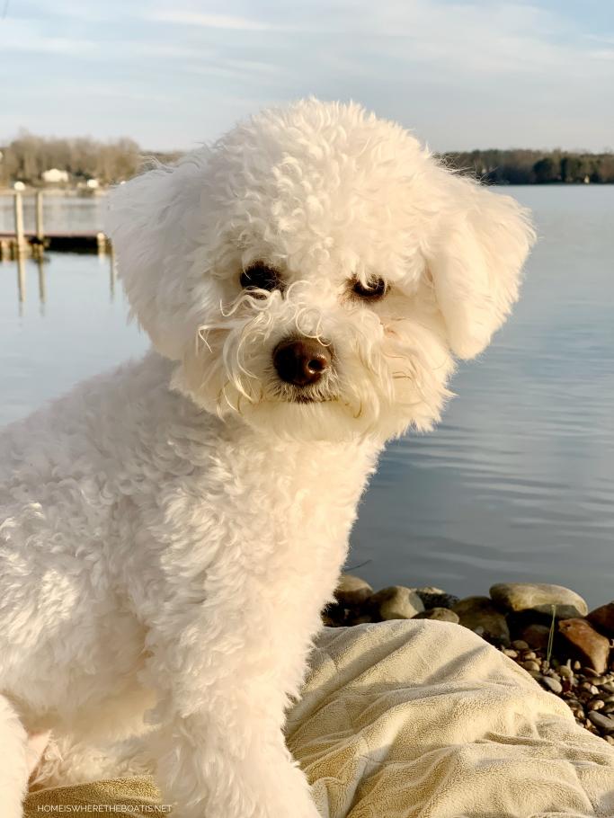 Weekend Waterview Lake Norman | ©homeiswheretheboatis.net #LKN #bichonfrise #dog #lake