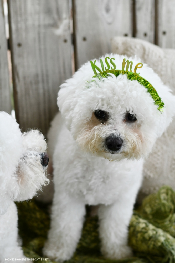 Lola and Sophie for St. Patrick's Day | ©homeiswheretheboatis.net #dogs #stpatricksday #bichonfrise